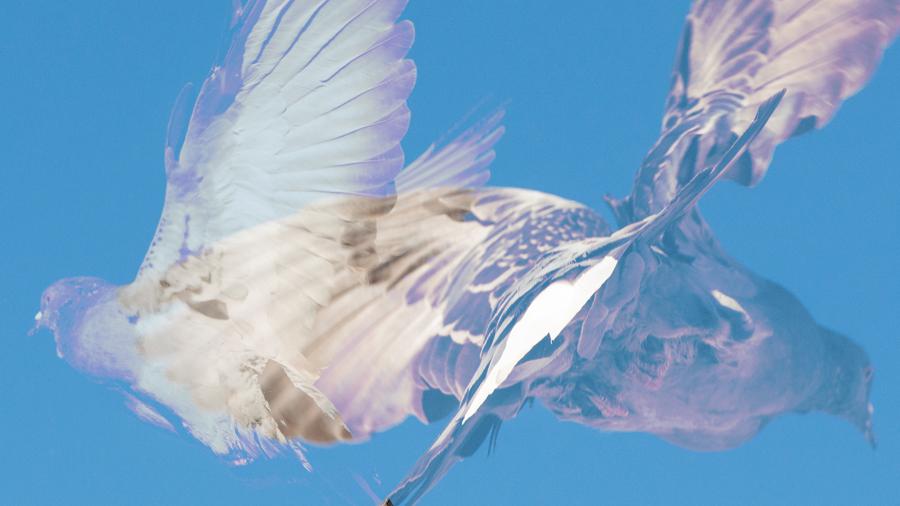 pigeons_thumb